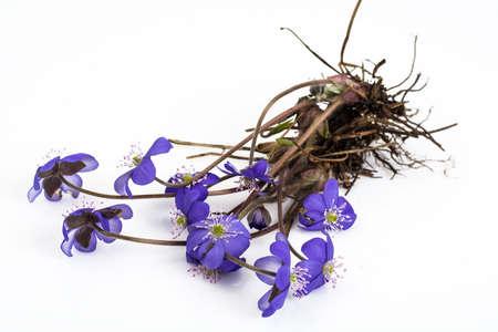 liverwort: Scilla, first spring flowers. Studio Photo Stock Photo