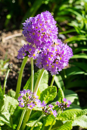 Garden flowers with lilac spherical inflorescences. Studio Photo