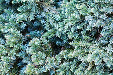 Background of green juniper branches. Studio photo