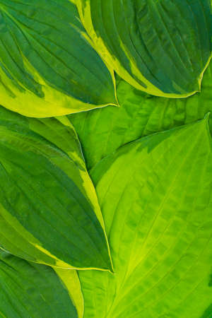 Nature concept. Background of large leaves of host, close-up. Studio Photo Stock Photo
