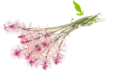 Delicate pink inflorescence Isolated on white background. Studio Photo Stock Photo