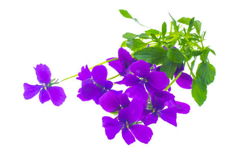 clematis: Bunch of bright purple flowers Isolated on white. Studio Photo