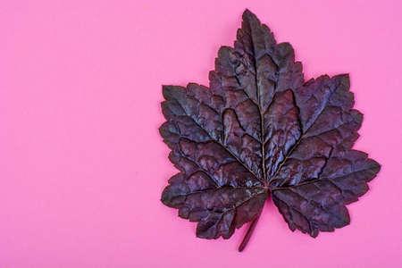 자주색 나뭇잎 파스텔 핑크 배경에 Heuchera입니다. 최소한의 자연 여름 개념입니다. 스튜디오 사진