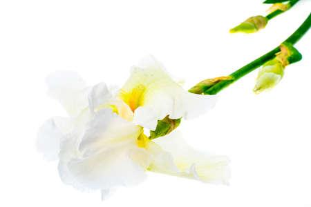 botanics: Summer flowers garden irises on white background. Stock Photo