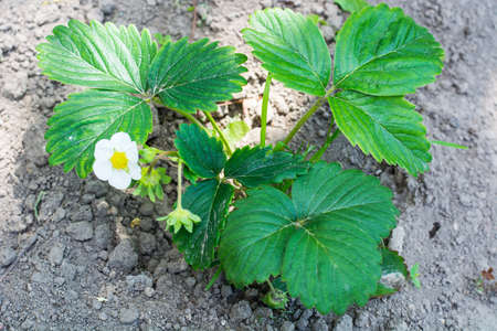pollution free: Blossoming garden strawberries on background of  earth