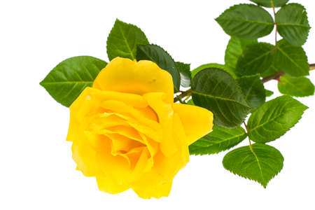 One branch of blooming yellow rose isolated on white background