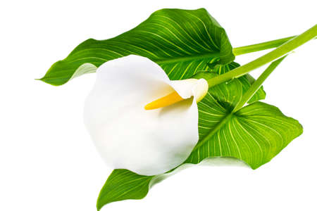 arum: Blooming white calla with green leaves on light background Stock Photo