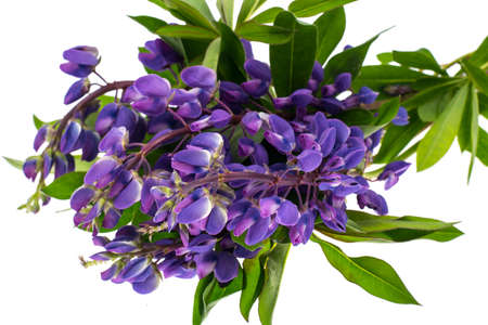Purple lupine with green leaves, isolated on white background