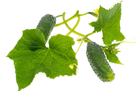 Leaves and ovary cucumber on white background