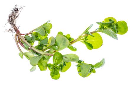 Portulaca de hierbas orgánicas frescas del jardín. Foto de archivo - 83922585