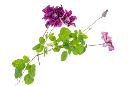 clematis flower: Clematis flower on white