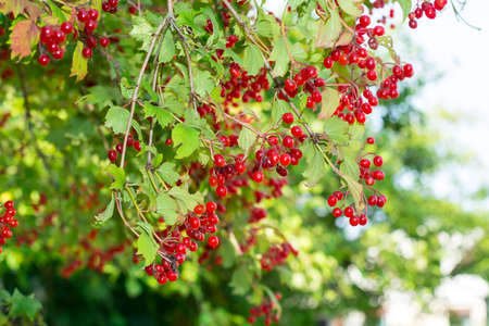 Clusters of red viburnum on branches Stock Photo