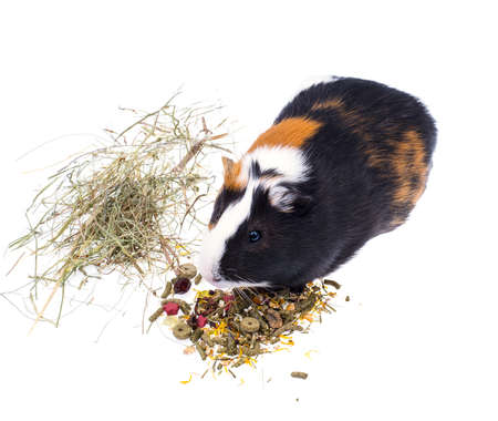 Food for domestic guinea pigs