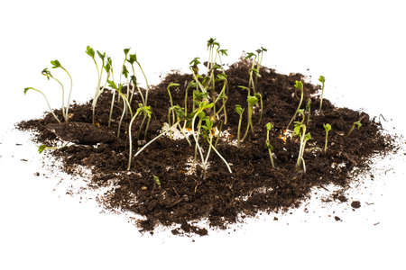 Growing cress salad at home