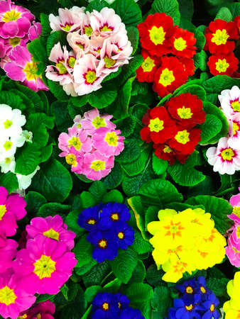 Background of flowers from colorful spring flowers primrose