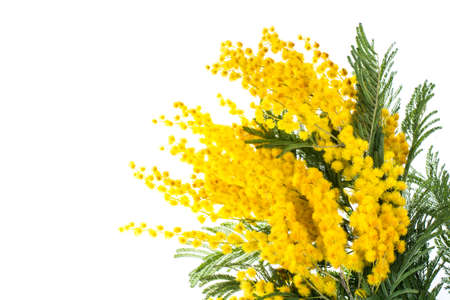 Branch of blooming yellow Acacia dealbata, isolated on white background Stock Photo