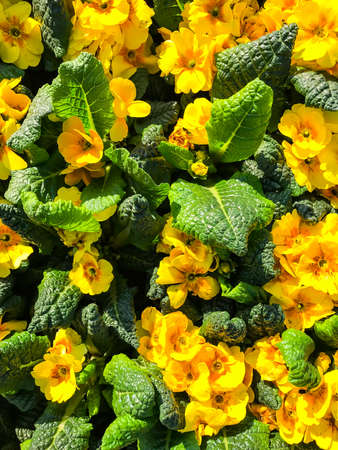 Background, texture, postcard from colorful flowers primrose garden. Studio Photo
