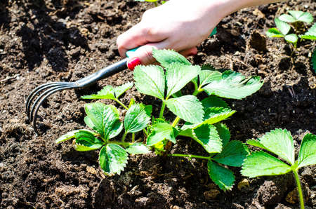 Care for garden strawberries, hand loosens the ground