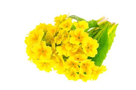 Small bouquet of yellow primrose. Studio Photo