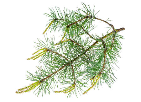 Pine branch with young shoots. Studio Photo