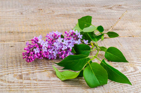 Lilac branch on wooden background. Studio Photo