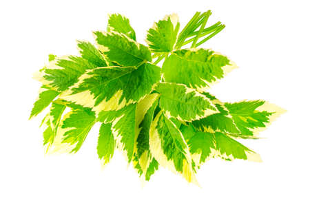 leaves of Aegopodium podagraria Variegata