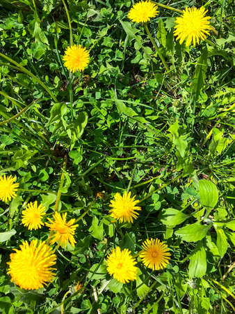 Green grass with blooming yellow dandelions Фото со стока