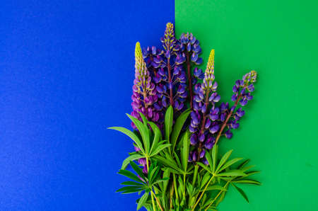 Purple flowers and green lupine leaves Banque d'images