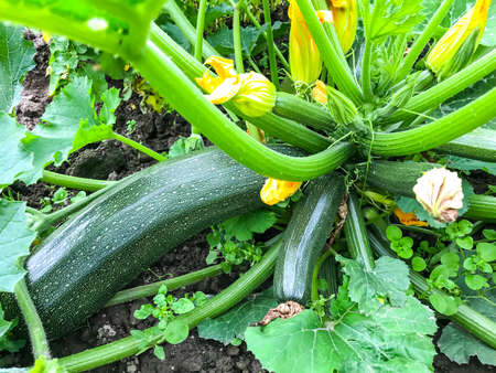 Growing green bush zucchini with fruits and leaves on ground Zdjęcie Seryjne