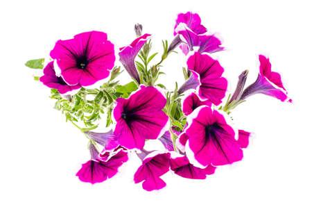 Branch of flowering petunia with purple flowers