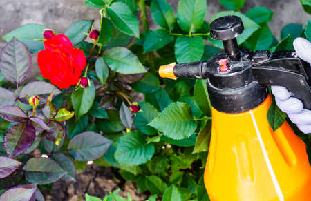 Use of pesticides against pests and diseases on roses. Studio Photo Stock Photo