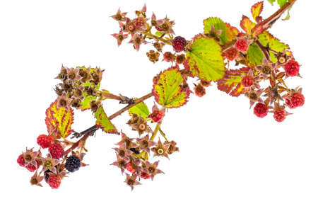 Blackberry branch with immature berries. Studio Photo