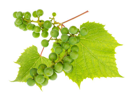 Branch of green unripe grapes with leaves on white background Banco de Imagens