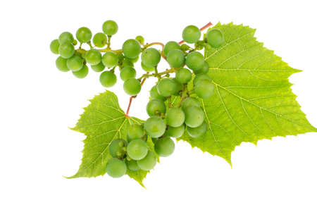 Branch of green unripe grapes with leaves on white background Archivio Fotografico - 106637359