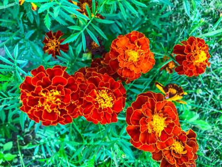 Tagetes medicinal plants