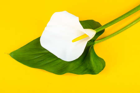 Single flower callas on bright background. Studio Photo