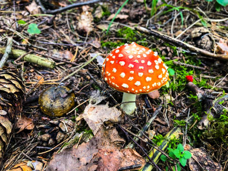 Red Amanita in the autumn forest. Studio Photo Фото со стока