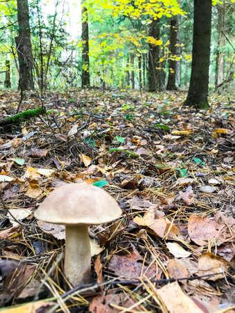 Leccinum autumn edible mushroom. Studio Photo 스톡 콘텐츠
