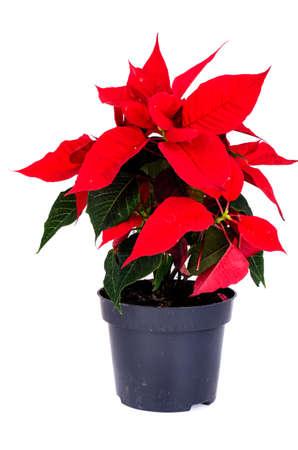 Red poinsettia flower isolated on white background. Studio Photo