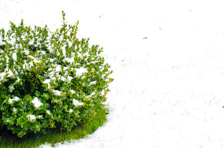 Green branches of ornamental plants under snow. Studio Photo