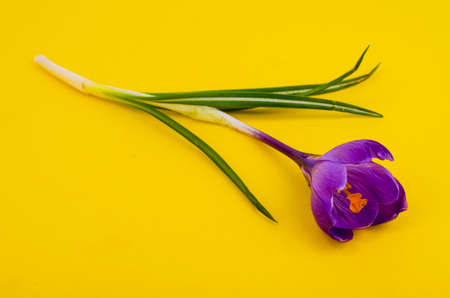 Single blue crocus, spring flower. Studio Photo