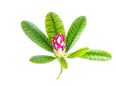 Pink rhododendron flower with green leaves isolated on white background. Studio Photo