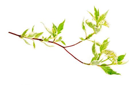 Branche de Cornus alba Elegantissima à fleurs blanches et feuilles panachées. Studio photo