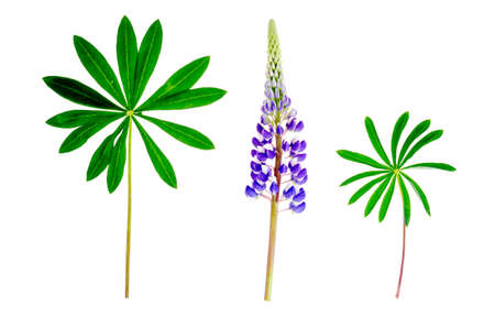 Purple lupine flower with green leaves isolated on white. Studio Photo