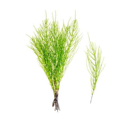 Plant equisetum arwense isolated on white background