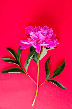 Delightful pink peony on bright color background.