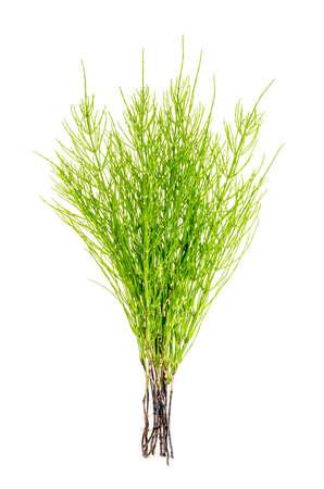 Plant equisetum arwense geïsoleerd op witte achtergrond