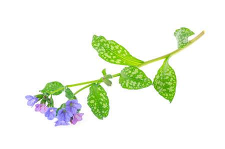 Wild spring flower Pulmonaria on white