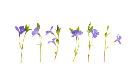 Blue flowers and leaves of vinca isolated on white background