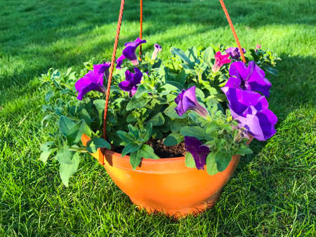 Hanging flowerpots with flowers on green grass on sunny day Stockfoto